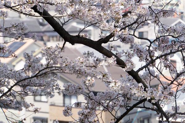 桜3-1803284