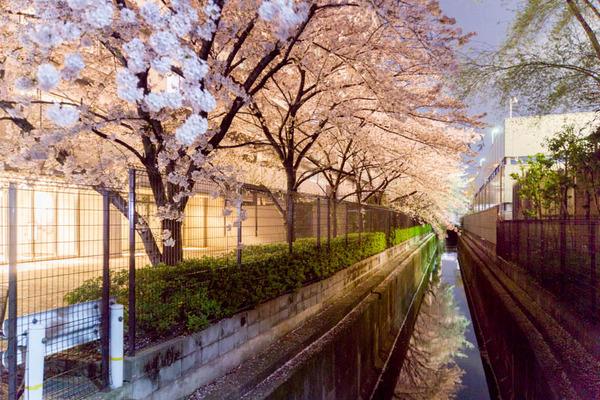 桜2-1704092