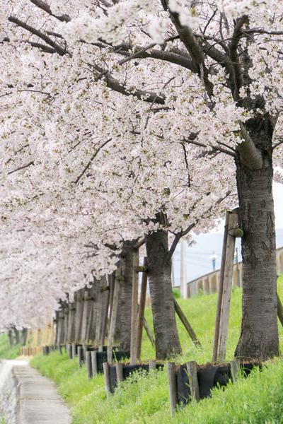 桜-1704103