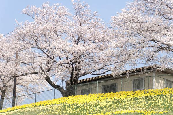 桜-1803292