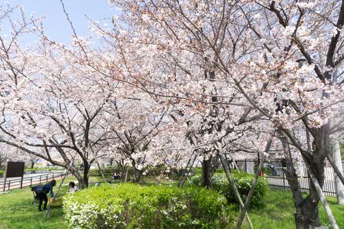 桜-15033103