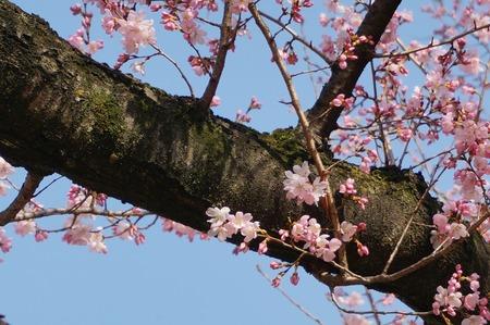 桜130319_04