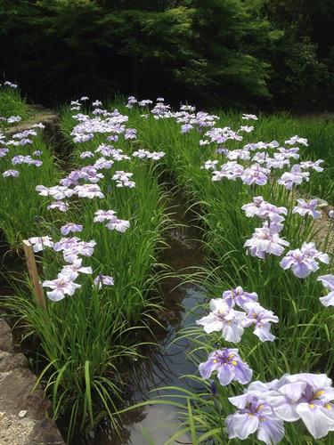 花菖蒲園3
