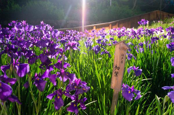 花しょうぶ-18060213