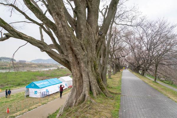 背桜道-1903301-7