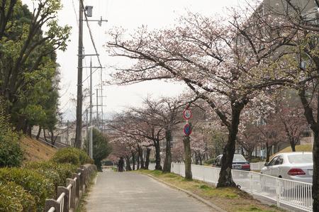 香里ヶ丘の桜-3