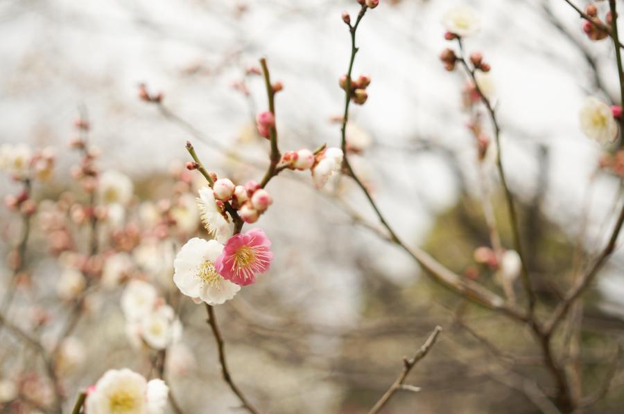 意賀美神社の梅-7