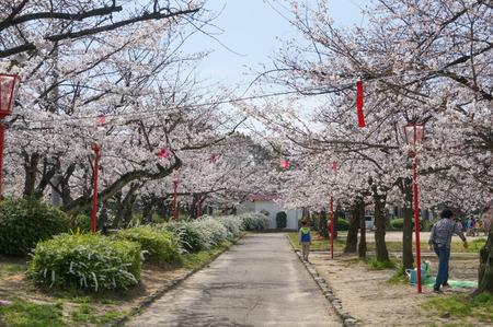牧野公園の桜-2