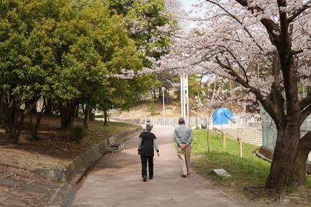 香里ヶ丘の桜-7