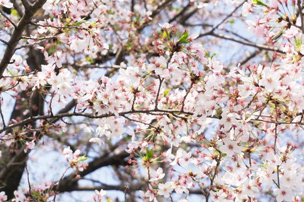 桜マルシェ1