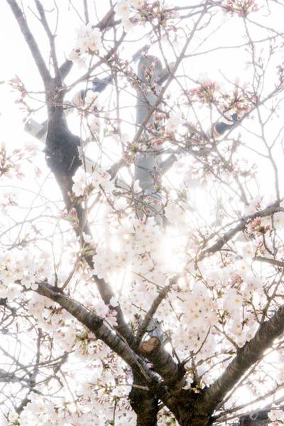 桜2-1803273
