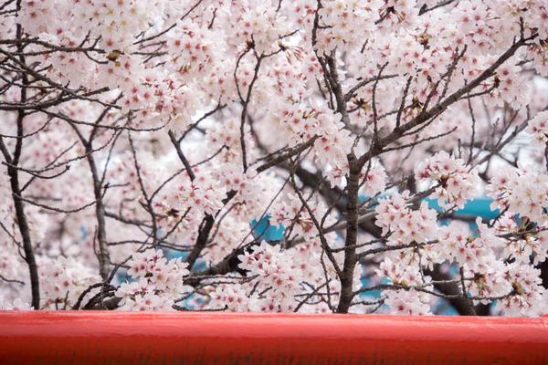 桜-1604063