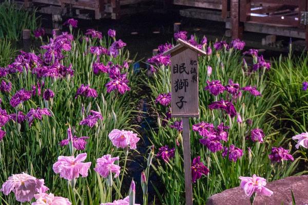 花しょうぶ-1806029