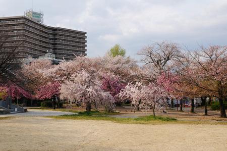 牧野公園の桜130410-02