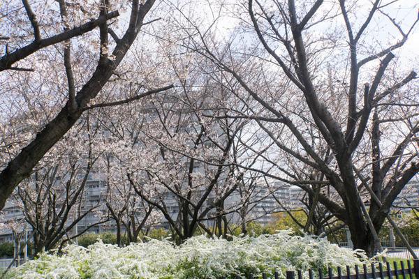 桜-1904023