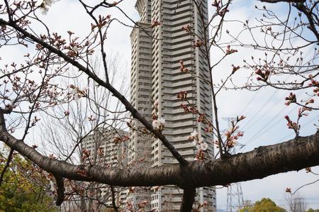 楠葉中央公園の桜130325-13