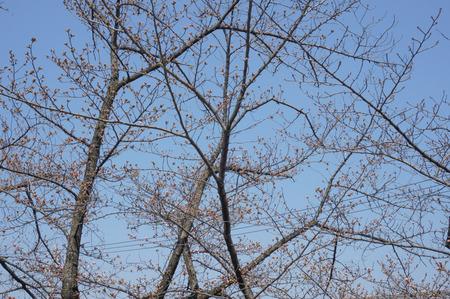 村野公園の桜-8