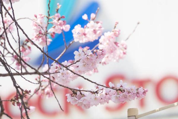 桜-1704036