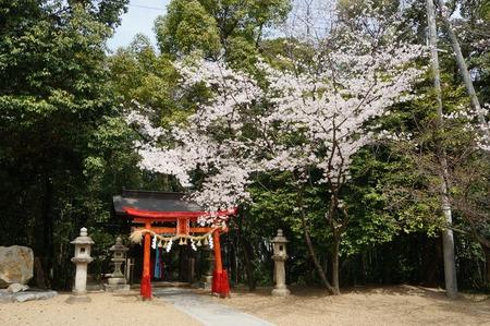 春日神社の桜130401_02