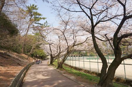 香里ヶ丘の桜-11