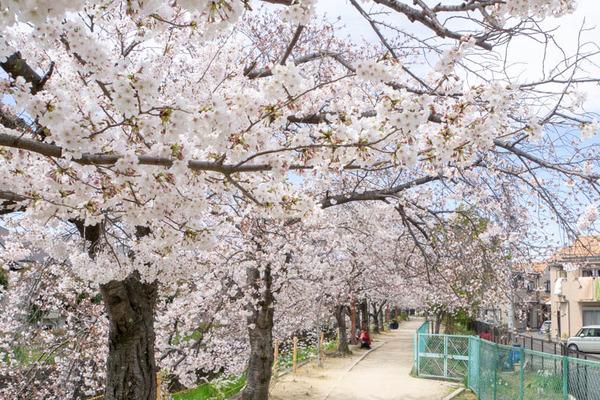 明るめ桜-1904051-2