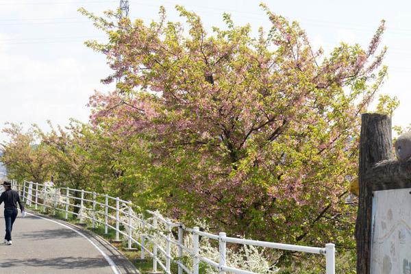 桜-1903263