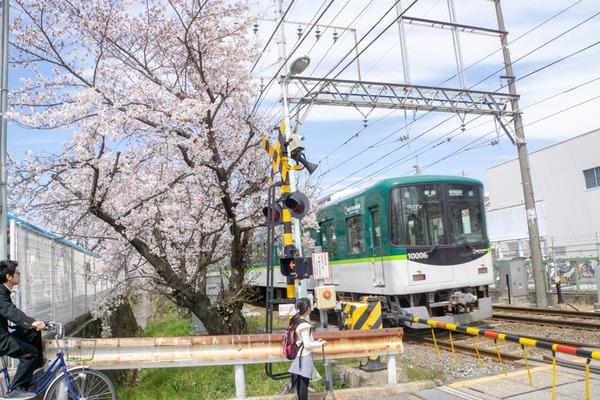 明るめ桜-19040510