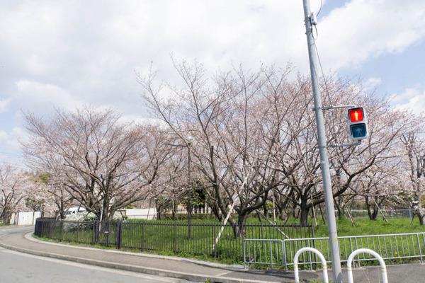 桜-1904021