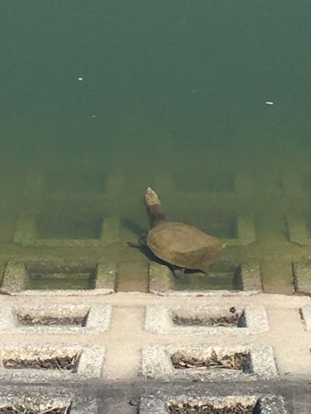 長尾の大池で発見したスッポンらしきカメ【枚方フォト】