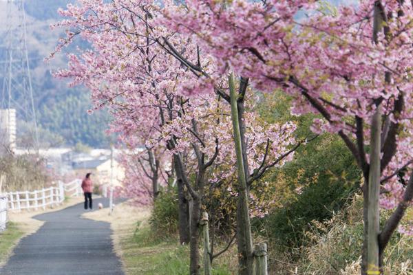 桜並木-1703162