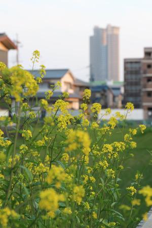 菜の花とタワーシティ-A