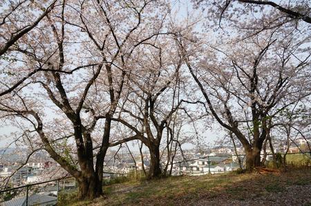御殿山公園の桜130405-04