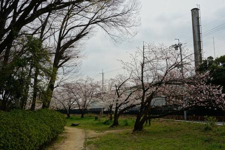 車塚公園の桜130329-04