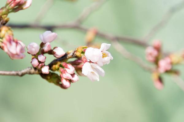 桜-1704032