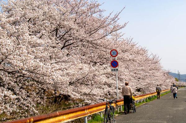 交野 桜-2103292-2