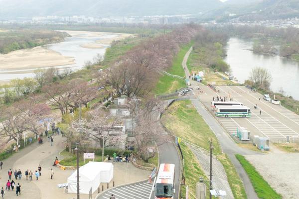 背桜1-1903301-2