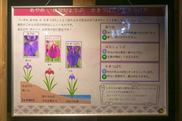 花しょうぶ-1906036