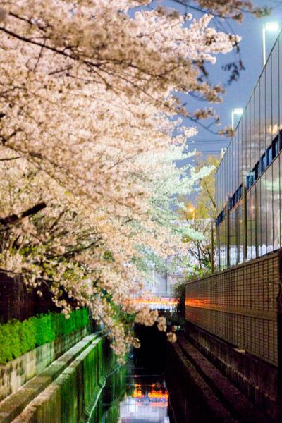 桜2-1704091