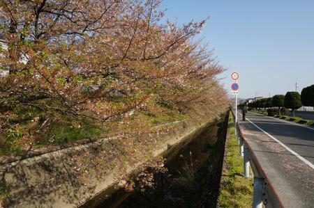 村野団地から郡津駅の桜130408-02