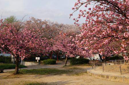牧野公園の桜130410-05
