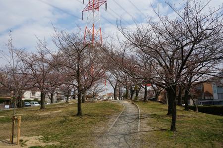 楠葉中央公園の桜130325-04
