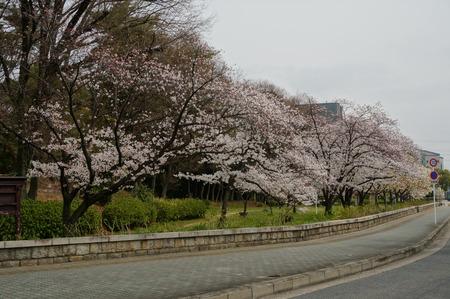 車塚公園の桜130329-01