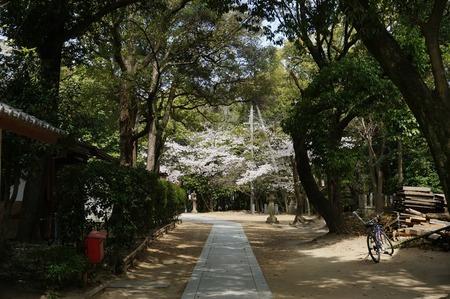 春日神社の桜130401_03
