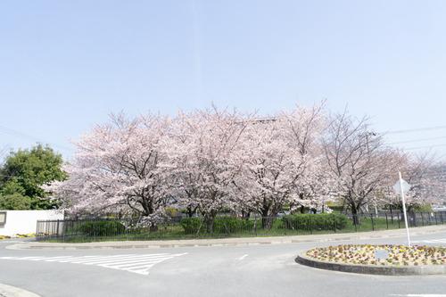 桜-15033105