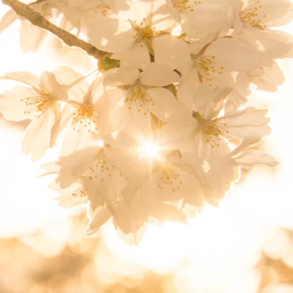 桜-1803273