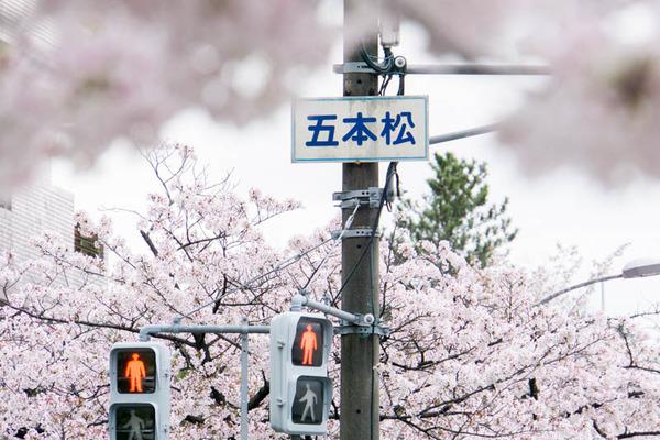 桜2-1704126