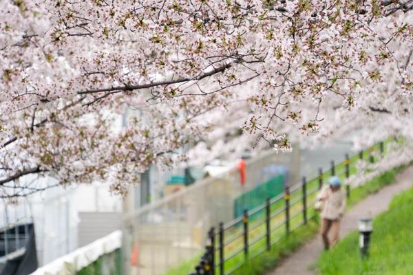 桜-1704102