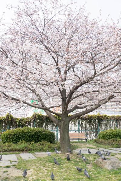 桜-1704052
