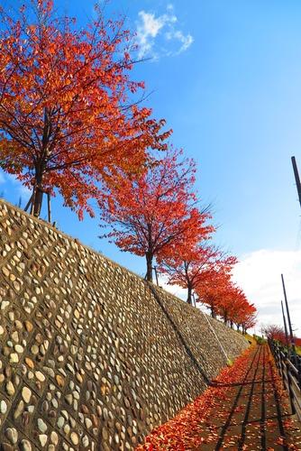 天野川の紅葉-02