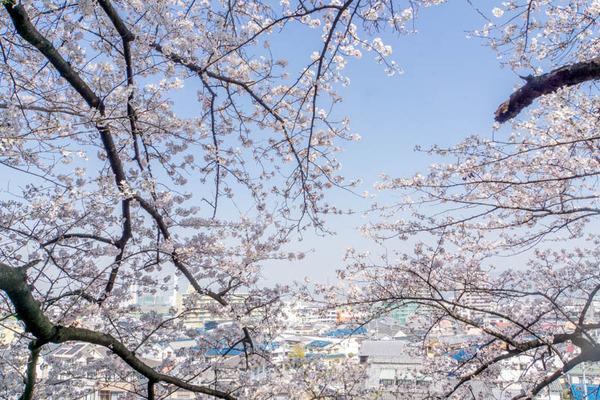 桜3-1803285